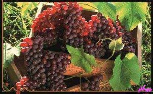 خواص و فواید انگور