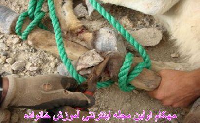 حسین آقاخانی زنجانی در حال بیرون آوردن تکه فلزی کنسرو از پای الاغ بیچاره-WWW.MEHCOM.COM