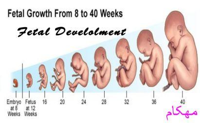 مراحل رشد جنین پیش از تولد - بارداری-مهکام مجله اینترنتی آموزش خانواده