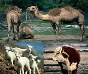معمای صد حیوان-معمای شتر گاو گوسفند